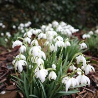 Snowdrops in Scotland
