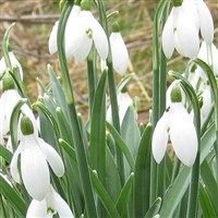 Yorkshire Snowdrops